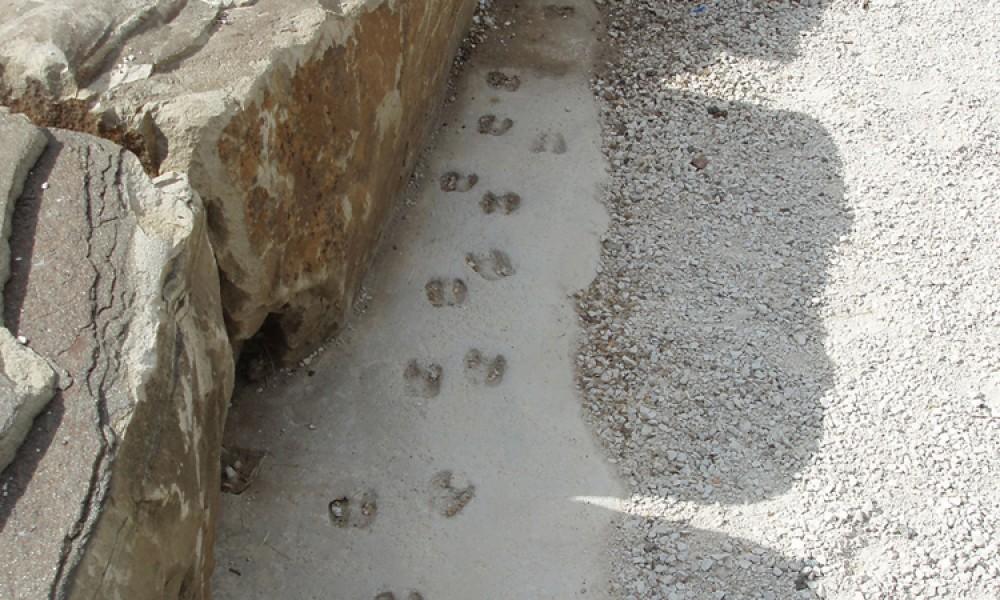 Goat Footprints