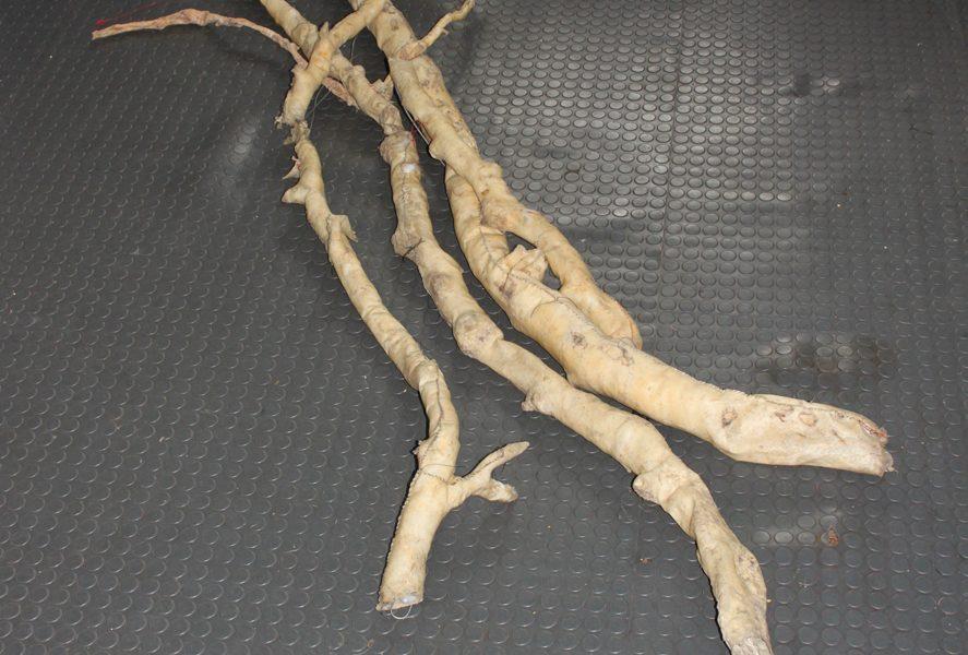 dead latex trees  s