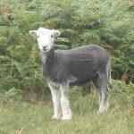 Roast Lamb at Wastwater